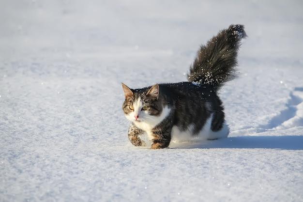 Giovane gatto attivo in bianco e nero che cammina nella neve.