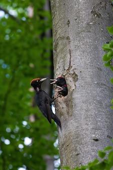 Madre di picchio nero che alimenta i pulcini in una cavità del faggio in estate