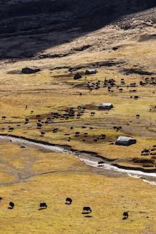 Gli yak neri pascolano sulle montagne. Foto Premium