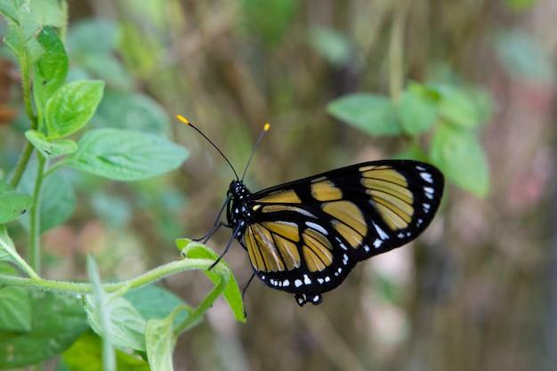 Farfalle gialle e nere a campos do jordo brasile
