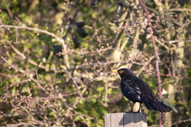 Blackbird arroccato su un pilastro di una staccionata in legno con cespuglio