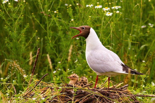 Gabbiano dalla testa nera che nidifica con due pulcini vicino alla vegetazione colorata in estate