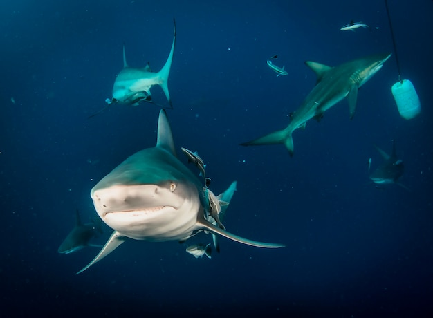 Squalo pinna nera che nuota in subacquei tropicali. squali nel mondo sottomarino. osservazione del mondo animale. avventura subacquea nella costa sudafricana di rsa