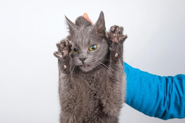 Incolpare il gatto grigio tenuto per la collottola
