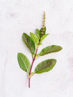 Sbollentare le foglie di basilico santo fresco allestite su sfondo di cemento bianco con spazio piatto e copia.