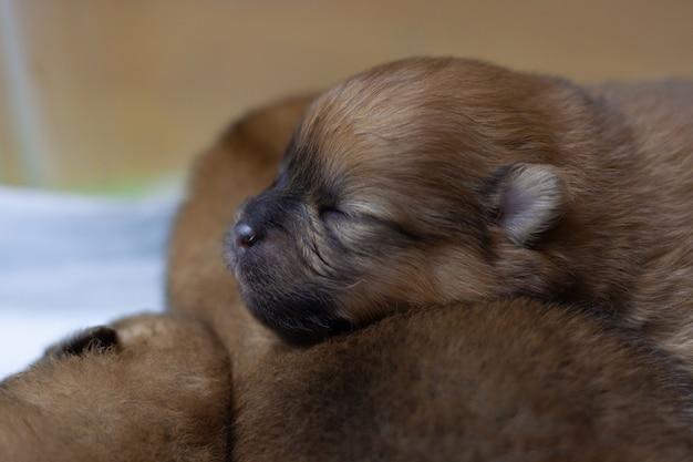 Un cucciolo di pomerania cieco e appena nato ha messo la testa su un altro cucciolo