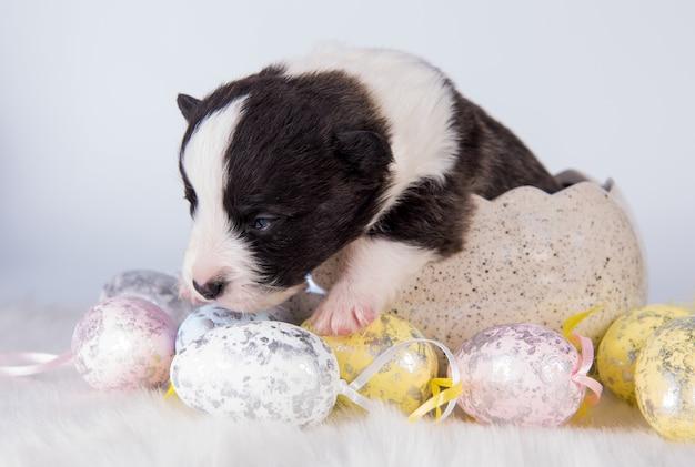 Cucciolo cieco di pembroke welsh corgi nell'uovo di pasqua
