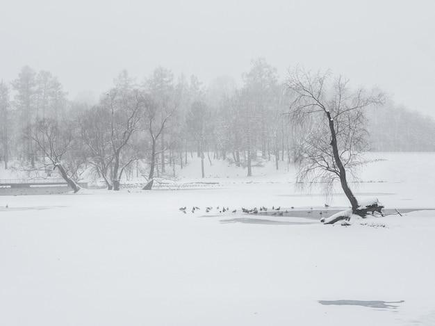 Blizzard nel parco invernale. alberi ad alto fusto sotto il manto nevoso. paesaggio invernale minimalista.