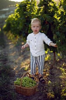 Il bambino biondo lo raccoglie in un cesto d'uva in un vigneto e lo mangia