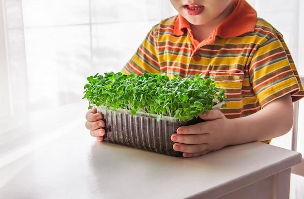 Un ragazzino biondo sta guardando la crescita dei microgreens. piccolo giardiniere, concetto di giardinaggio e piantagione