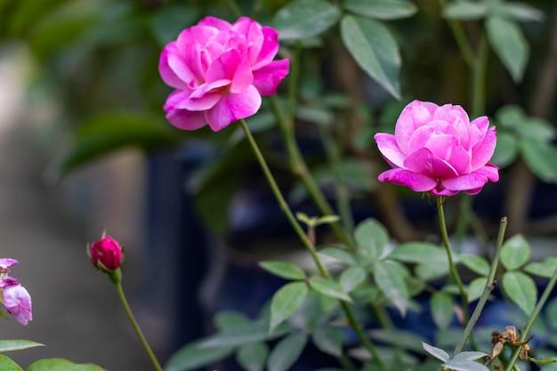 Fiorirono due rose fiorite multicolori rosa e bianche con boccioli nel giardino