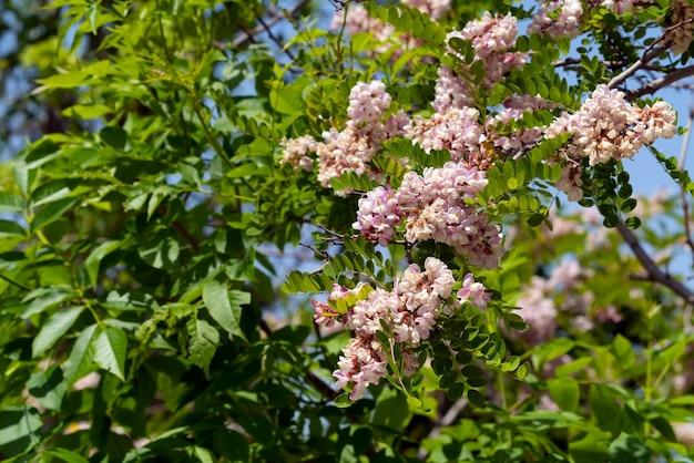 Albero di acacia in fiore in giardino