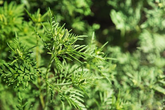 Cespuglio di ambrosia in fiore. allergene vegetale dell'ambrosia, erba di prato tossica. allergia all'ambrosia ambrosia. il polline in fiore artemisiifolia è un allergene pericoloso nel prato.