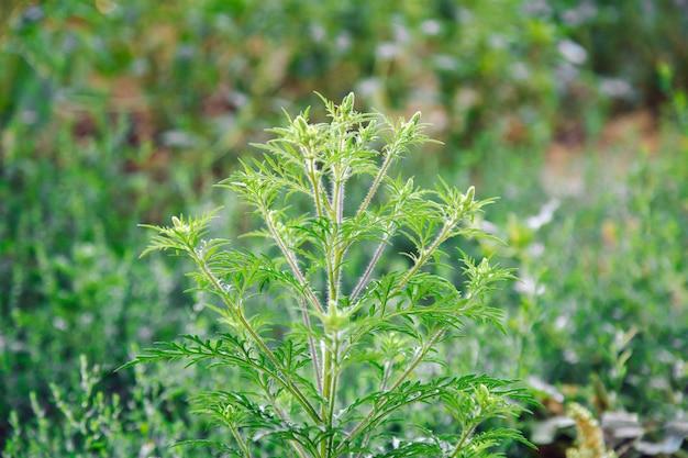 Cespugli di ambrosia in fiore. allergene vegetale dell'ambrosia, erba di prato tossica. allergia all'ambrosia ambrosia. il polline in fiore artemisiifolia è un allergene pericoloso nei prati.