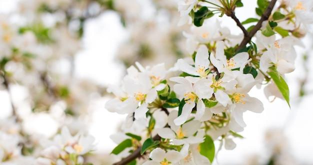 Rami di melo in fiore nel giardino di primavera. primo piano per boccioli di fiori di mela bianca su un ramo. concetto di primavera, sfondo floreale