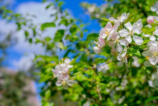 Melo in fiore in primavera. rami di melo con fiori bianchi.