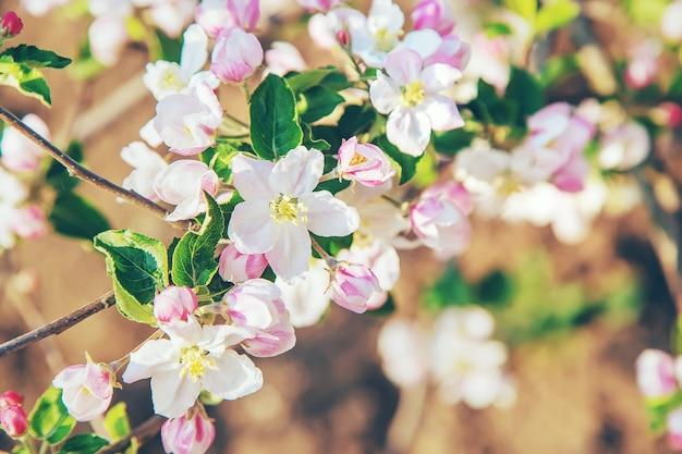 Meli in fiore in primavera nel giardino. messa a fuoco selettiva. fiori.