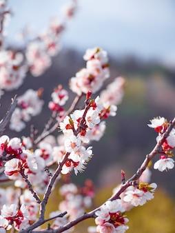 Albicocca in fiore in giardino.