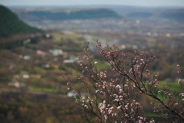 Ramo fiorito dell'albero di albicocca in primavera in montagna con la città sullo sfondo delle montagne mountains