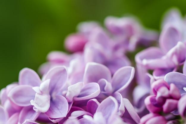 Fondo floreale del fiore lilla della spugna viola del ramo di fioritura
