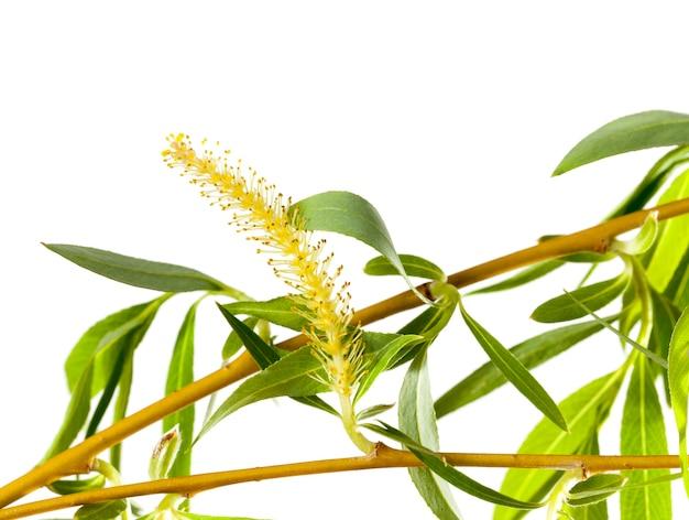 Germogli in fiore con foglie verdi e fiori di salice, primo piano