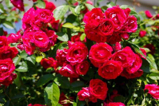 Cespuglio fiorito di rose rosa in una giornata di sole
