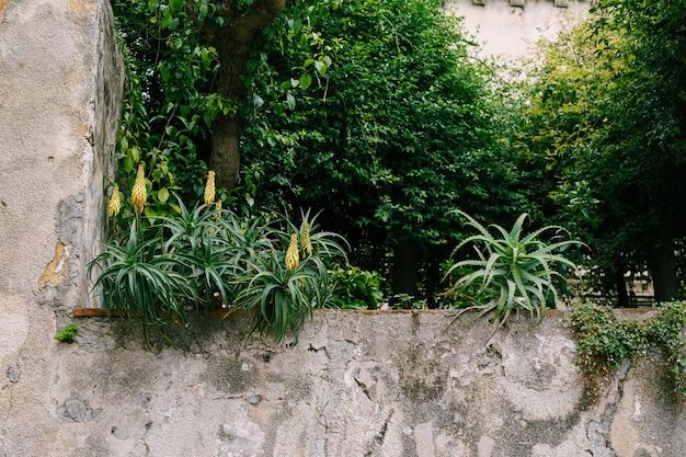 Cespugli fioriti di aloe su un recinto di pietra. foto di alta qualità