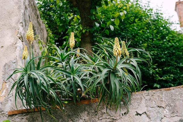 Cespugli fioriti di aloe su un recinto di pietra.