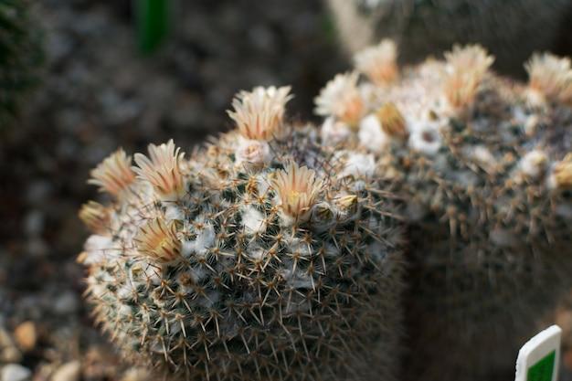 Fioritura di cactus, cactacee o cactus su sfondo sfocato