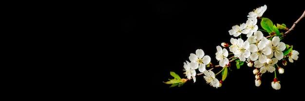Ramo di ciliegio in fiore. fiori bianchi primaverili. albero del vino in fiore.