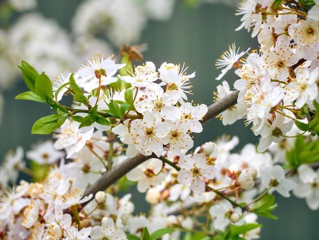 Prugna ciliegia in fiore in giardino.