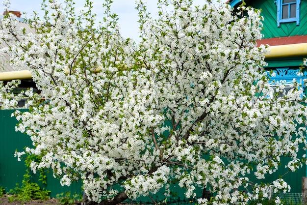 Ciliegio in fiore. primavera.