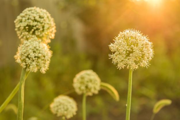Erba cipollina in fiore sotto i raggi del sole al tramonto
