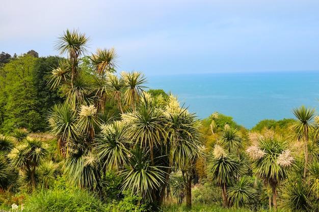 Blooming cordyline australis alberi (cavolo, cavolo-palma) su uno sfondo del mar nero nel giardino botanico di batumi, georgia