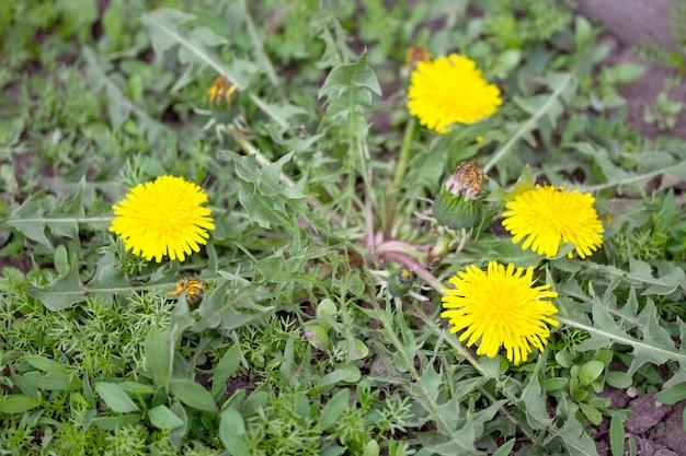 Dente di leone in fiore sfondo primavera erba verde brillante. trama di sfondo verde erba. messa a fuoco selettiva.