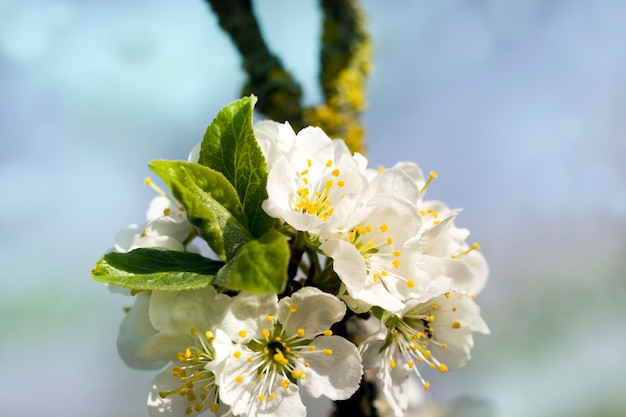 Alberi da frutto in fiore