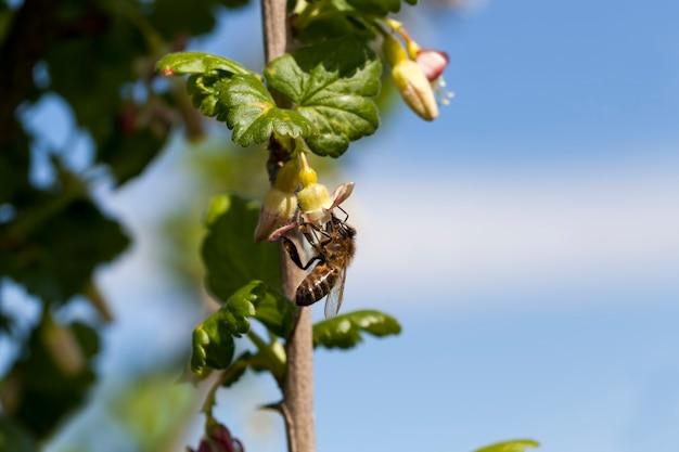 Ribes in fiore in estate, bellissimi fiori insoliti cespugli di uva spina in giardino, frutteto, impollinati da un'ape