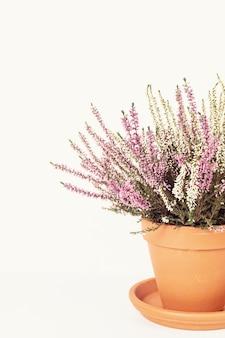 Blooming heather calluna vulgaris in vaso di fiori su superficie bianca