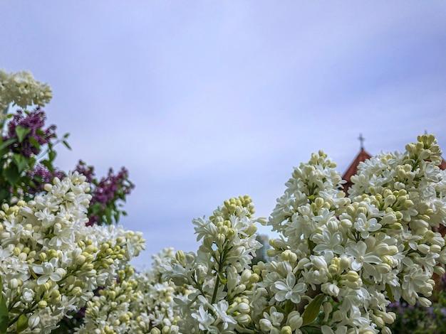 Fioritura lilla primavera fiori lilla bianchi