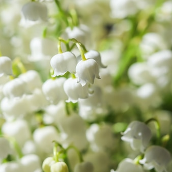 Il mughetto in fiore fiorisce lo sfondo floreale naturale