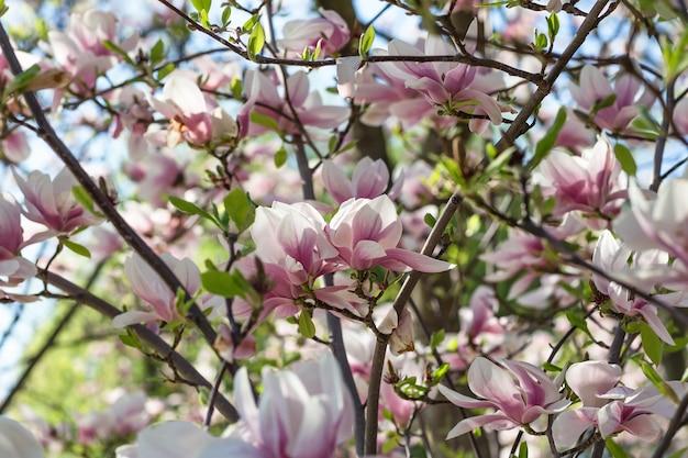 Fioritura di albero di magnolia ramo sfocato sfondo vicino