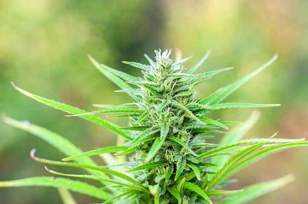 Pianta di marijuana in fiore con fiori bianchi precoci cannabis sativa lascia marihuana