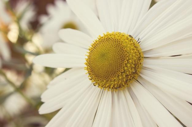 Camomille mediche in fiore nel giorno del sole. medicina alternativa margherita di primavera. bellissimo prato