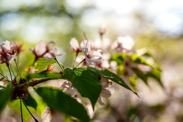 Fiori rosa che sbocciano sul ramo. sfondo di primavera.