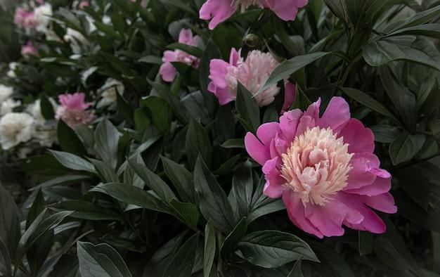 Cespuglio di peonia rosa in fiore tra le foglie copia spazio.