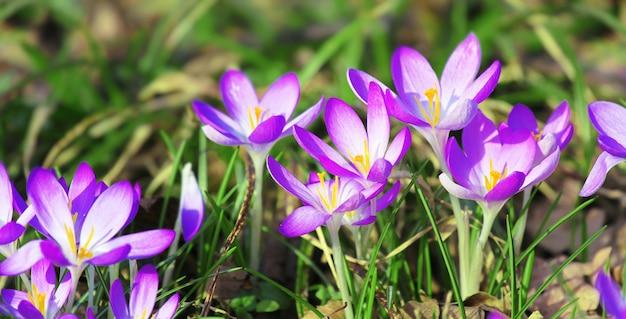 Fiori di croco viola in fiore in una messa a fuoco morbida in una soleggiata giornata primaverile