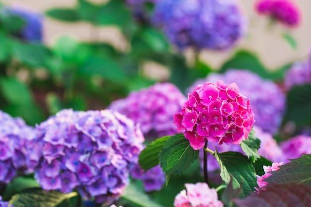 Fioritura di ortensie o ortensie viola e rosa