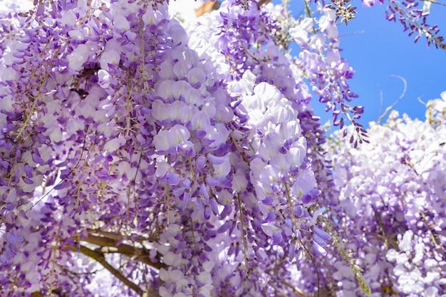 Glicine viola in fiore in primavera in francia