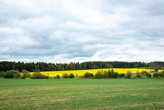 Campo di colza in fiore in primavera. campo soleggiato di colza.