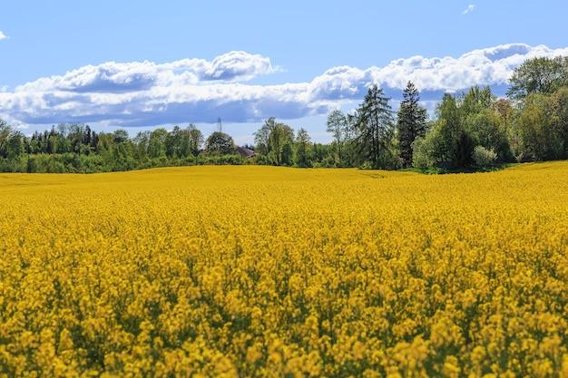 Campo e villaggio di colza in fiore
